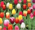 Tulip Plants Large